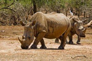 AJc-Benny-Rebel-Fotoreise-Swaziland-Breitmaul-Nashorn