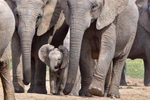 AJe-Benny-Rebel-Fotoreise-Suedafrika-Elefant