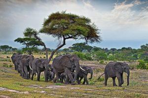 AJf-Benny-Rebel-Fotoreise-Tansania-Elefant