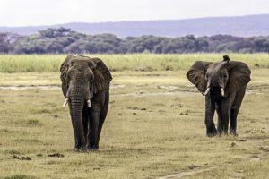 AJi-Benny-Rebel-Fotoreise-Kenia-Elefant