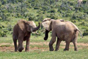 AJs-Benny-Rebel-Fotoreise-Suedafrika-Elefant