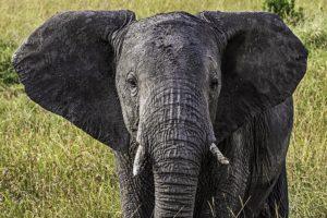 AJu-Benny-Rebel-Fotoreise-Kenia-Elefant