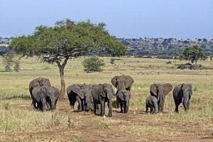 AJv-Benny-Rebel-Fotoreise-Tansania-Elefant