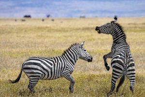 AKg-Benny-Rebel-Fotoreise-Tansania-Zebra