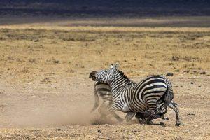 AKi-Benny-Rebel-Fotoreise-Tansania-Zebra