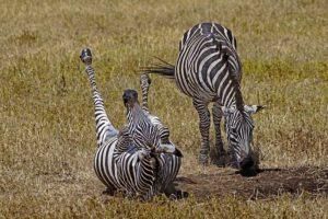 AKj-Benny-Rebel-Fotoreise-Tansania-Zebra