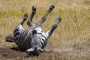 AKl-Benny-Rebel-Fotoreise-Tansania-Zebra
