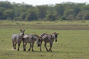 AKo-Benny-Rebel-Fotoreise-Tansania-Zebra