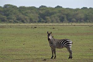 AKp-Benny-Rebel-Fotoreise-Tansania-Zebra