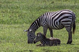 AKs-Benny-Rebel-Fotoreise-Kenia-Zebra