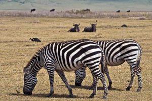 AKu-Benny-Rebel-Fotoreise-Tansania-Zebra