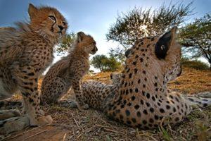 AKy-Benny-Rebel-Fotoreise-Suedafrika-Gepard