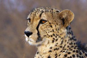 AKz-Benny-Rebel-Fotoreise-Suedafrika-Gepard