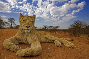 ALd-Benny-Rebel-Fotoreise-Suedafrika-Loewe