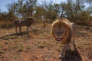 ALe-Benny-Rebel-Fotoreise-Suedafrika-Loewe