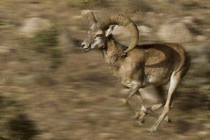 ALp-Benny-Rebel-Fotoreise-Iran-Persisches-Wildschaf