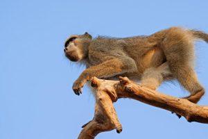 ALq-Benny-Rebel-Fotoreise-Suedafrika-Pavian