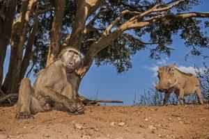 ALt-Benny-Rebel-Fotoreise-Suedafrika-Pavian