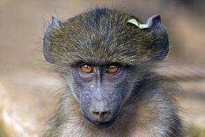 ALu-Benny-Rebel-Fotoreise-Suedafrika-Pavian-1