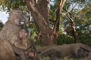 ALv-Benny-Rebel-Fotoreise-Tansania-Pavian