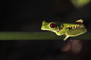 ALz-Benny-Rebel-Fotoreise-Frosch-Costa-Rica