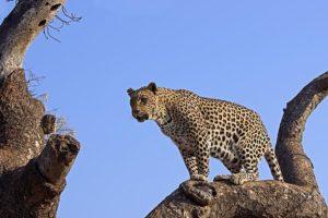 AMl-Benny-Rebel-Fotoreise-Suedafrika-Leopard