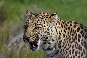 AMm-Benny-Rebel-Fotoreise-Suedafrika-Leopard-202