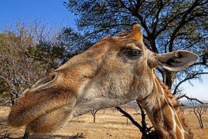 AMr-Benny-Rebel-Fotoreise-Suedafrika-Giraffe