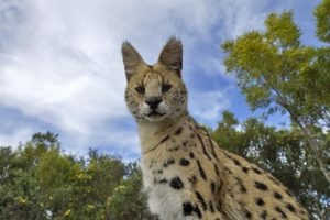 ANj-Benny-Rebel-Fotoreise-Serval-Suedafrika