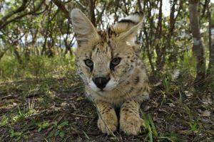 ANk-Benny-Rebel-Fotoreise-Serval-Suedafrika