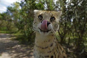 ANl-Benny-Rebel-Fotoreise-Serval-Suedafrika