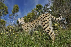 ANm-Benny-Rebel-Fotoreise-Serval-Suedafrika
