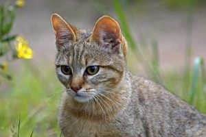 ANn-Benny-Rebel-Fotoreise-Suedafrika-Wildkatze