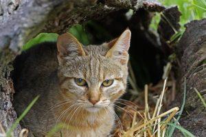 ANp-Benny-Rebel-Fotoreise-Suedafrika-Wildkatze