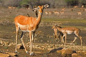 AOa-Benny-Rebel-Fotoreise-Swaziland-Impala