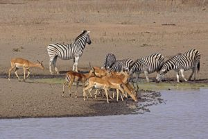 AOd-Benny-Rebel-Fotoreise-Swasiland-Impalas
