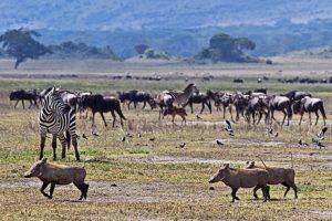 AOm-Benny-Rebel-Fotoreise-Tansania-Ngorongoro