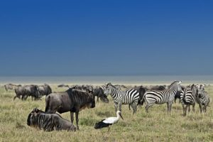 AOq-Benny-Rebel-Fotoreise-Tierherde-Serengeti-Tansania