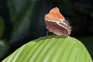 APc-Benny-Rebel-Fotoworkshop-Costa-Rica-Schmetterling