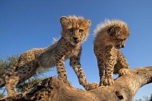 AQi-Benny-Rebel-Fotoreise-Suedafrika-Gepard