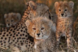 AQm-Benny-Rebel-Fotoreise-Suedafrika-Gepard