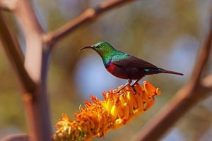 ARe-Benny-Rebel-Fotoreise-BindennektarvogelSuedafrika