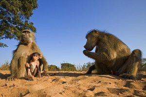ASg-Benny-Rebel-Fotoreise-Suedafrika-Pavian