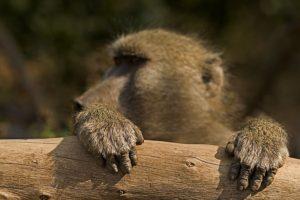 ASl-Benny-Rebel-Fotoreise-Suedafrika-Pavian