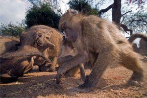 ASo-Benny-Rebel-Fotoreise-Suedafrika-Pavian