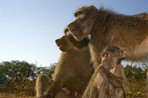 ASq-Benny-Rebel-Fotoreise-Suedafrika-Pavian