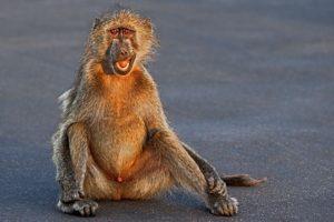 ASr-Benny-Rebel-Fotoreise-Suedafrika-Pavian