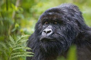 ASs-Benny-Rebel-Fotoreise-Berg-GorillaRuanda
