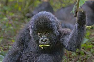 ASt-Benny-Rebel-Fotoreise-Berg-GorillaRuanda