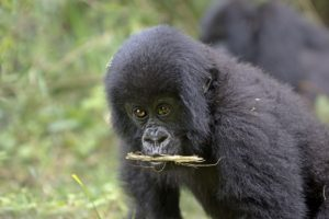 ASv-Benny-Rebel-Fotoreise-Berg-GorillaRuanda